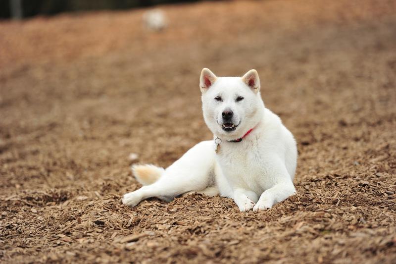 Белоснежная японская собака кисю: отважная охотница со сложным характером