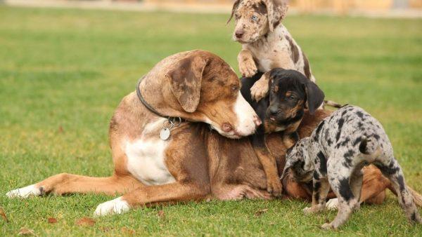 Собака Катахулы и её щенки