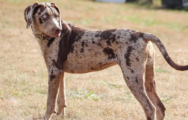 Леопардовая собака