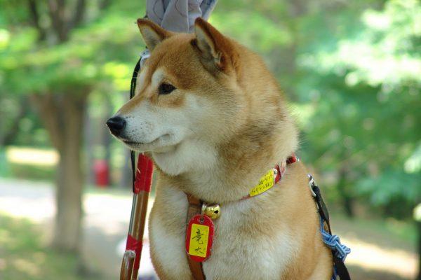 Собака породы хоккайдо крупным планом