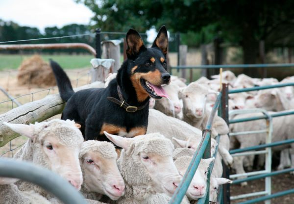 Келпи и овцы