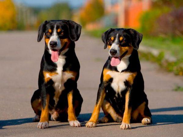 Собаки породы энтлебухер зенненхунд сидят на дороге