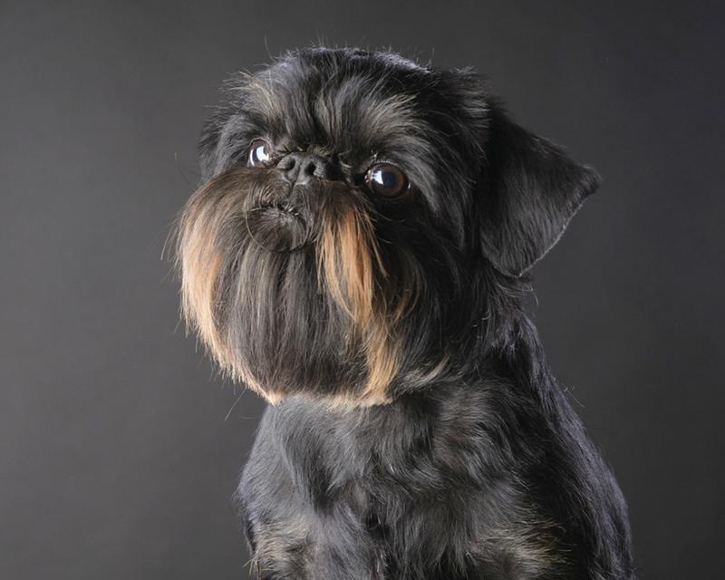 Бельгийский гриффон: жесткошёрстный бородатый питомец