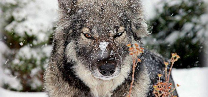 чешский влчек волчек