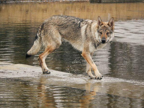 Движения волчека