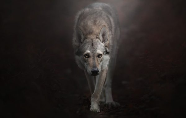 Характер волчека