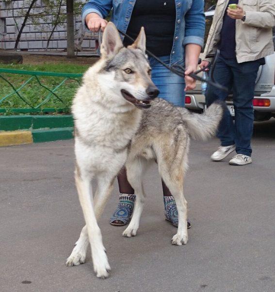 Волчак в городе