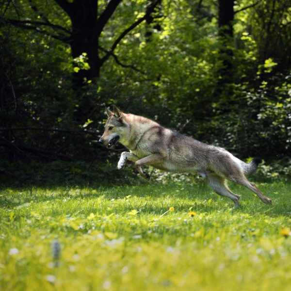 Влчак на прогулке