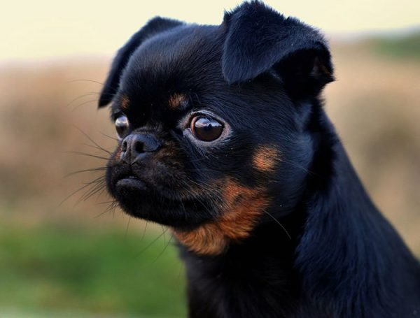 Голова пти-брабансона