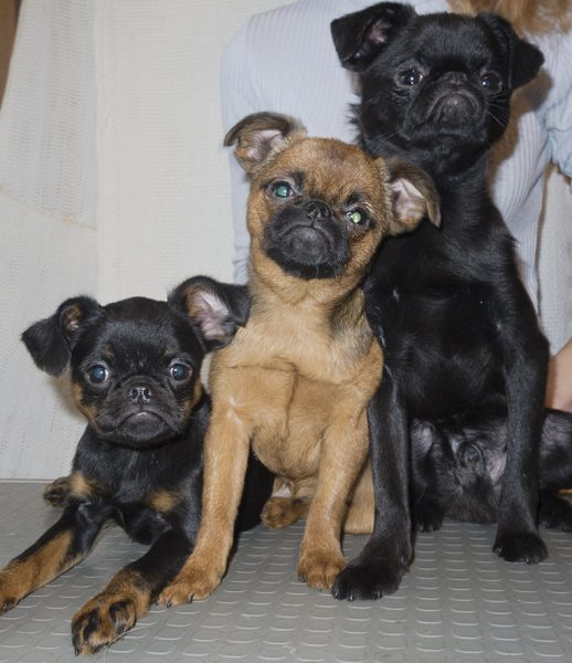 Три окраса пти-брабансонов