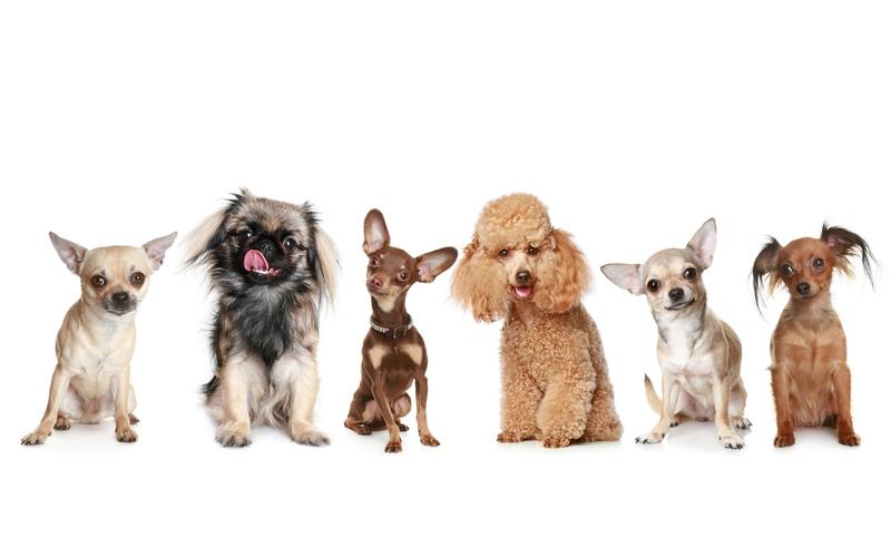 Миниатюрные породы собак: здоровье и особенности ухода