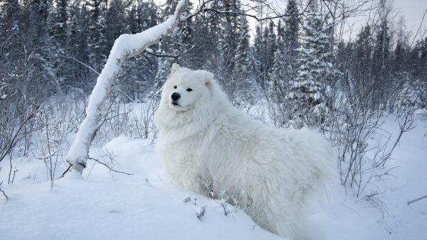 Самоедская собака зимой