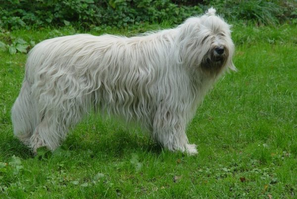 Украинская овчарка