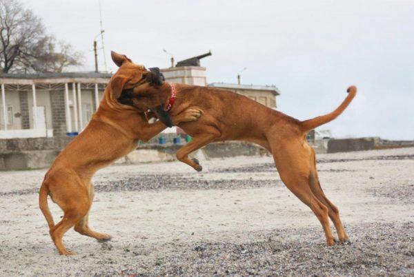 Тоса-ину бой собак