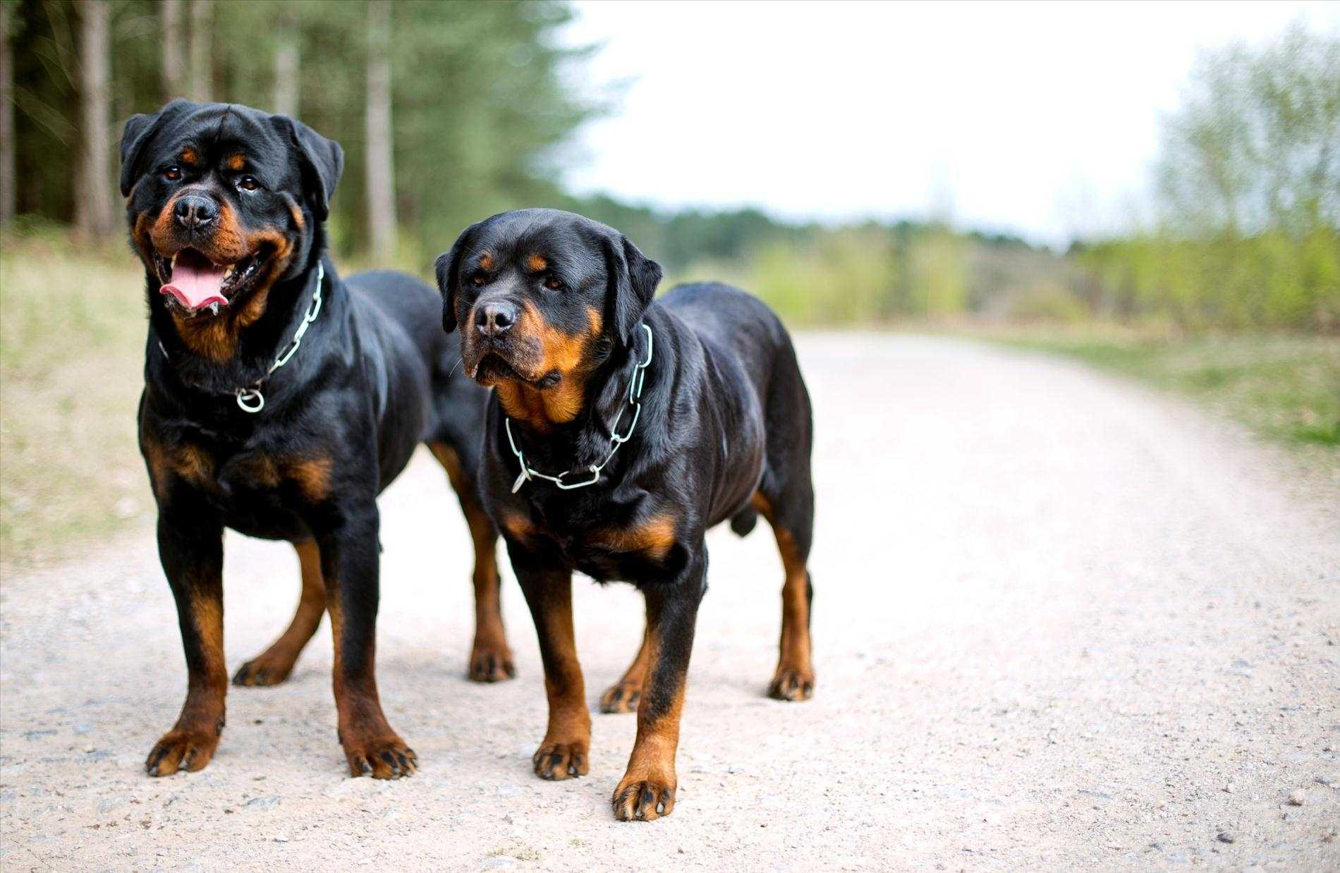 rottweiler dog images - 1024×600