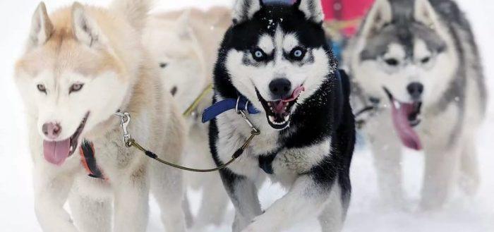 Собаки в упряжке бегут