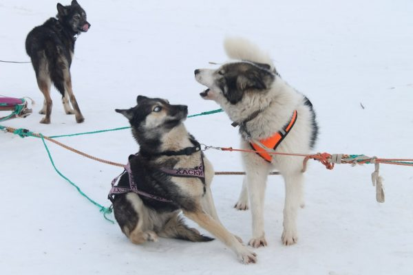 Взрослая собака в упряжке лает на щенка