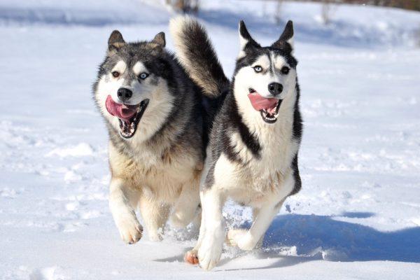Сибирские хаски бегут