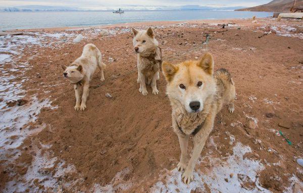Гренландские собаки на отдыхе