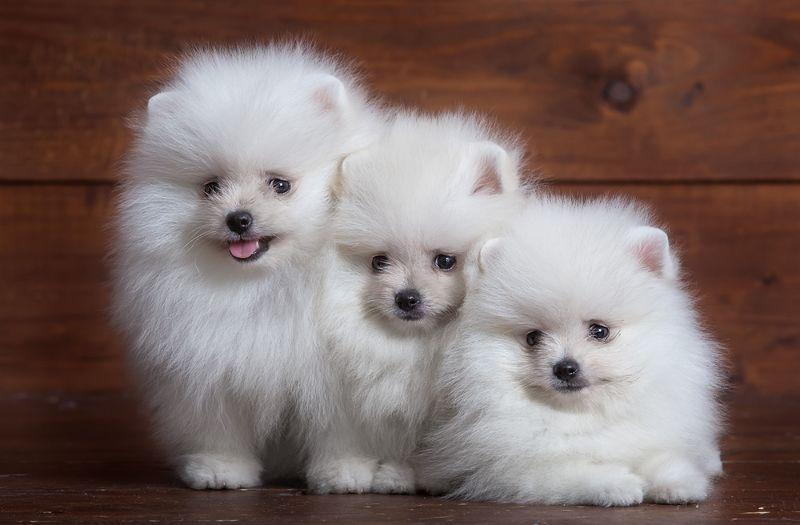 Большие и маленькие собаки с белоснежной шерстью: список пород и особенности ухода