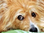 Длинношёрстная собака