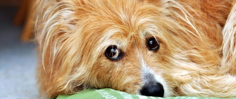 Большие и маленькие длинношёрстные собаки: список пород и особенности ухода