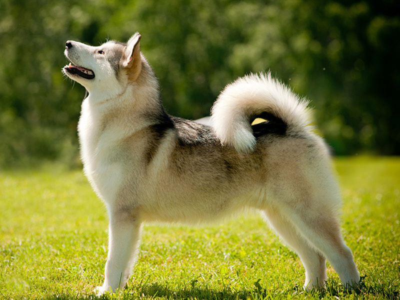 Как назвать собаку лайку