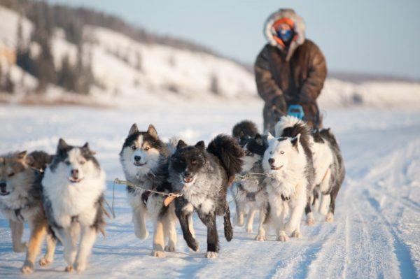 Ездовые якутские лайки
