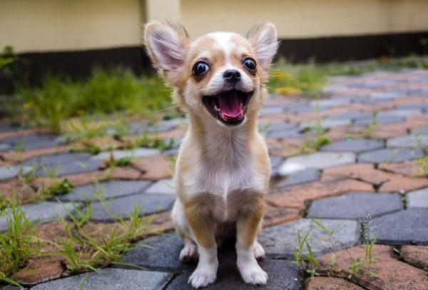 Собака маленькой породы