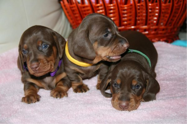 Три щенка такс