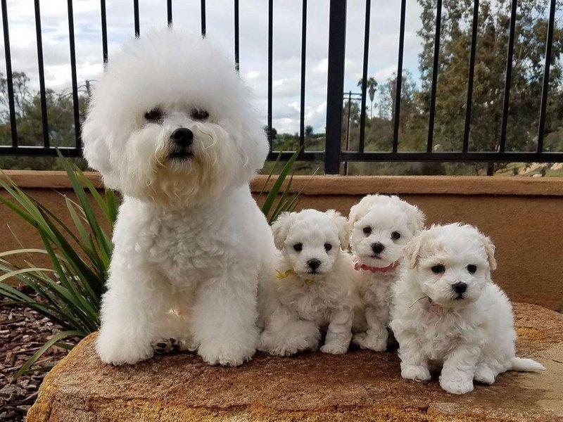 Топ-12 собак для аллергиков
