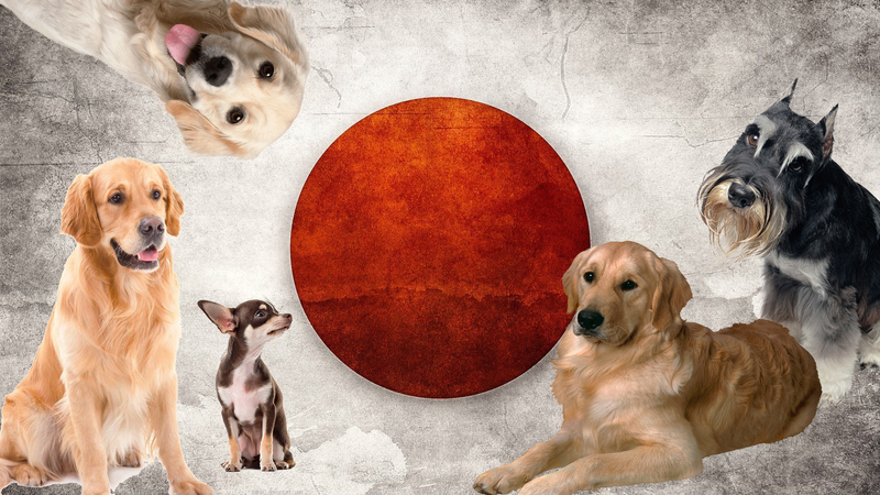 Японские клички для собак — выбираем имя со смыслом