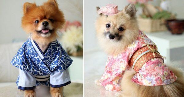 Маленькие собаки в кимоно