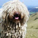 Собака породы командор