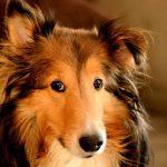 Порода собак колли