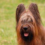 Порода собак бриар