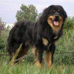 Монгольская овчарка