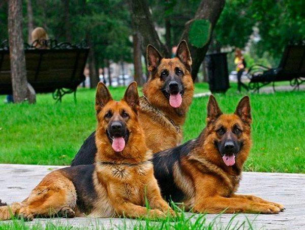 Три немецкие овчарки