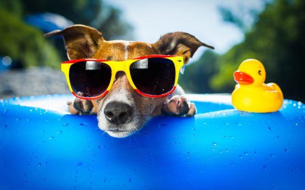 Собака в солнцезащитных очках