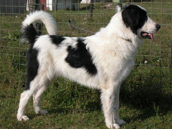 Юго-восточная европейская овчарка