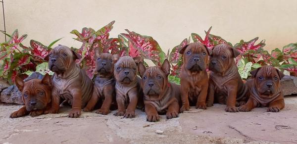 Чунцин щенки