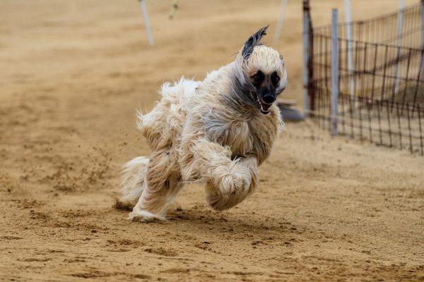 Афган на собачьих бегах