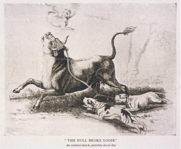 Рисунок, иллюстрирующий травлю быка бульдогами