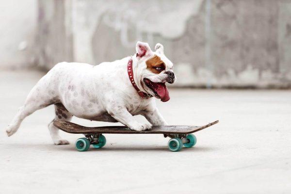 Английский бульдог-скейтбордист