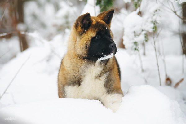 Щенок американской акиты в снегу