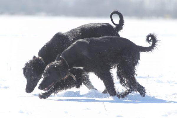 Совместная охота тайганов