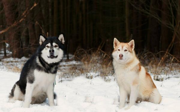 Маламут черно-белый и красно-белый