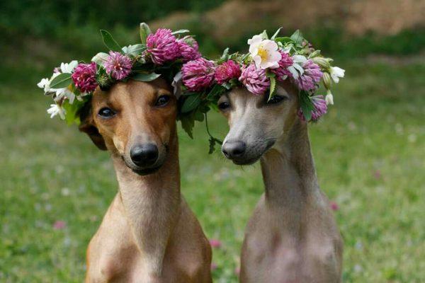 Две левретки с цветочными венками