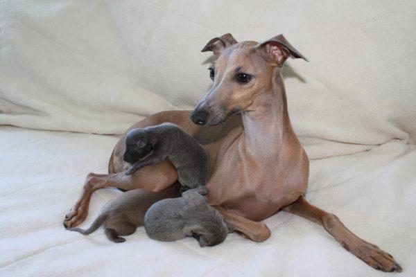 Левретка с тремя щенками