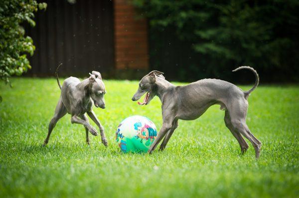 Две левретки гоняют мяч